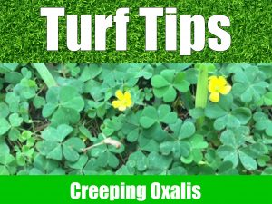 turf-tips-creeping-oxalis